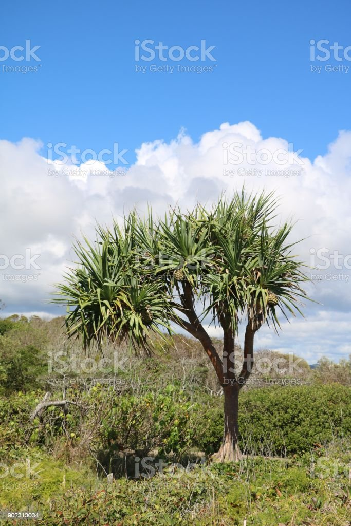 Tree of Pandanus Pedunculatus at Sunshine Coast, Queensland Australia stock photo