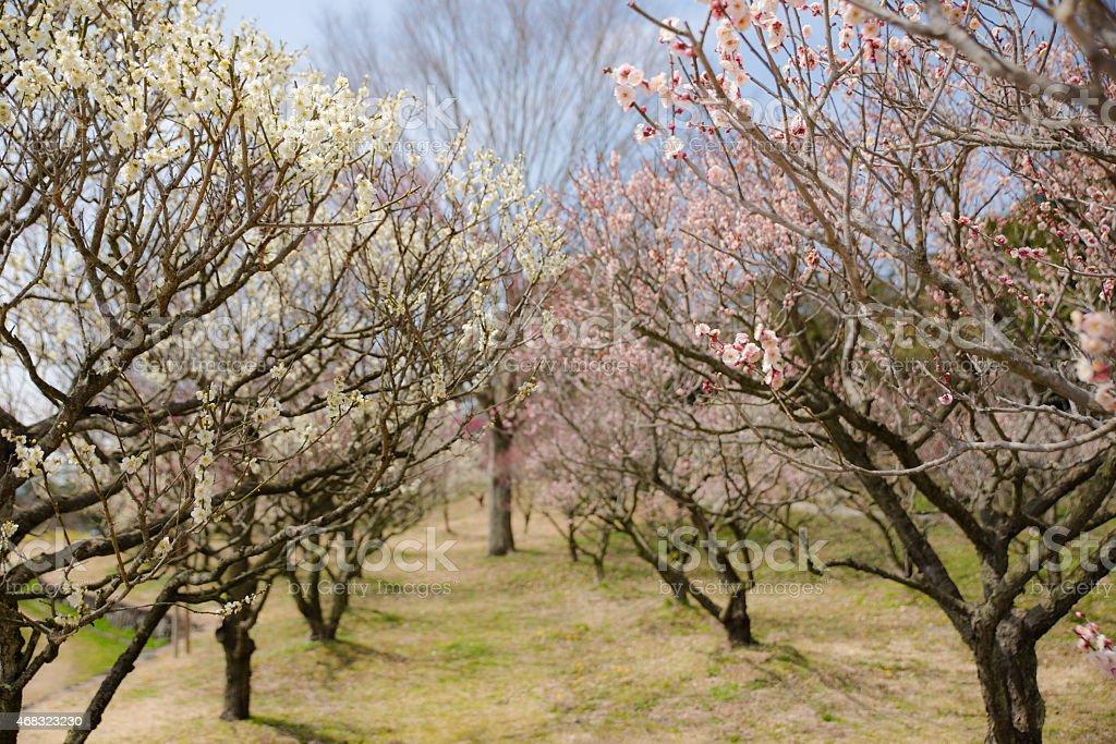 Tree of plum stock photo