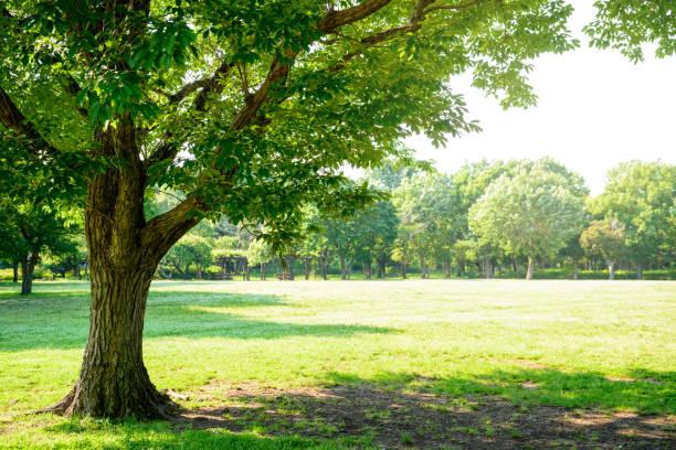 tree of the park - 介護 zdjęcia i obrazy z banku zdjęć