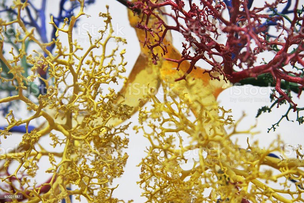 Tree of veins royalty-free stock photo