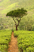 tree on tea plantation