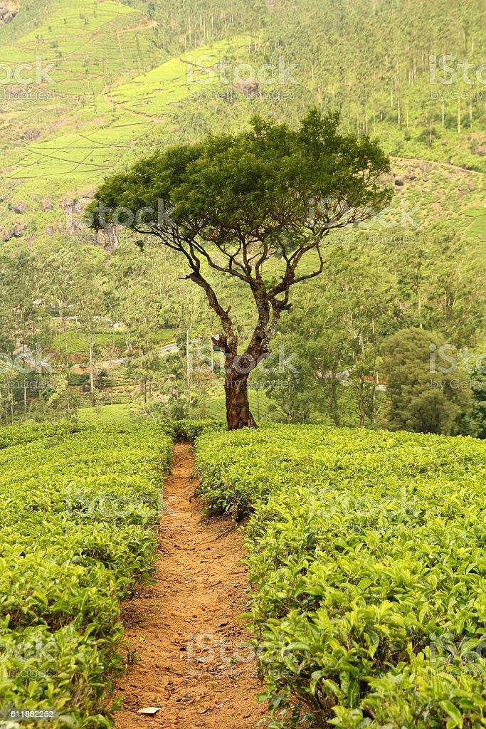 tree on tea plantation stock photo