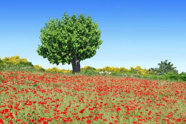 tree on the edge of a meadow. - amoreiras imagens e fotografias de stock