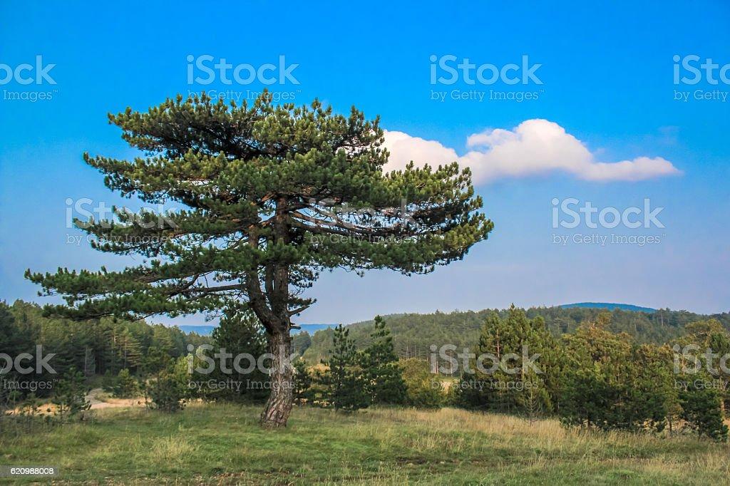 Tree on the hill, Tara mountain landscape, Serbia foto royalty-free