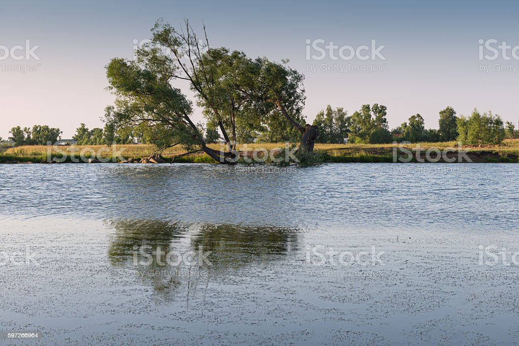 tree on the shore of the pond in the evening royalty-free stock photo