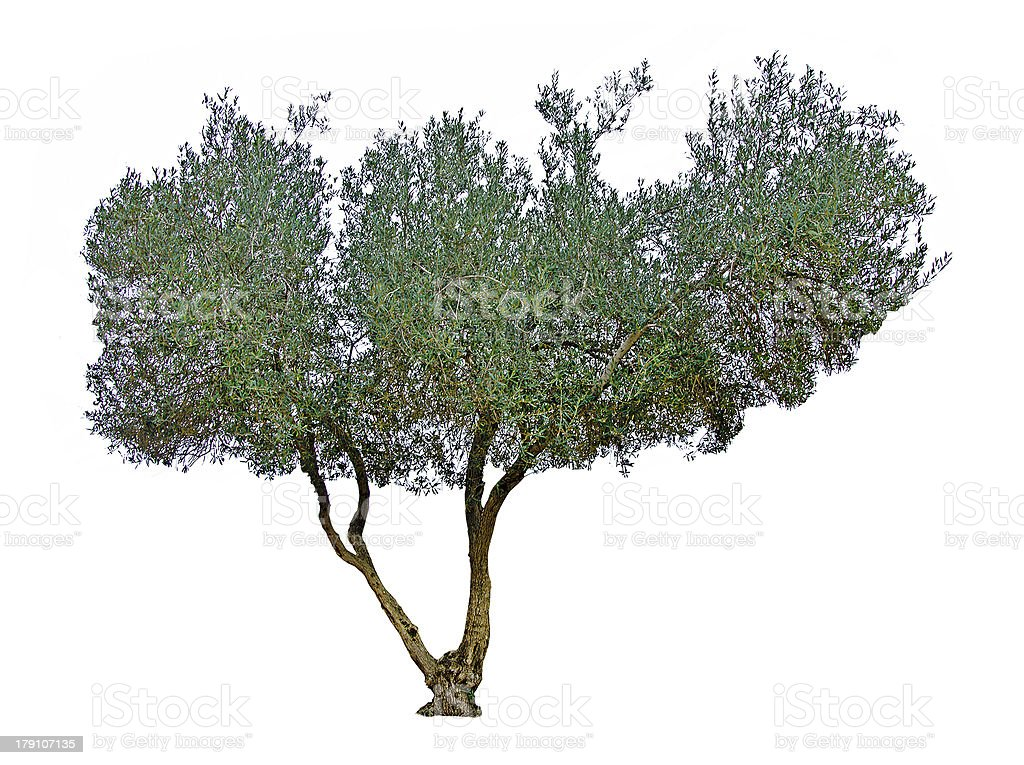 Tree on white background royalty-free stock photo