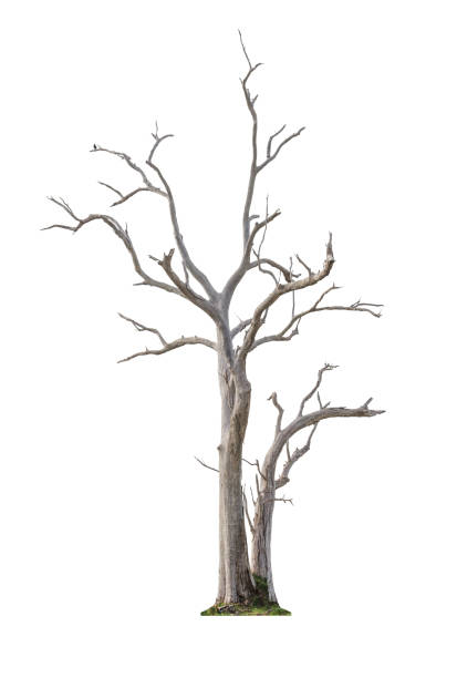 Tree on white background Single old and dead tree isolated on white background tree trunk stock pictures, royalty-free photos & images