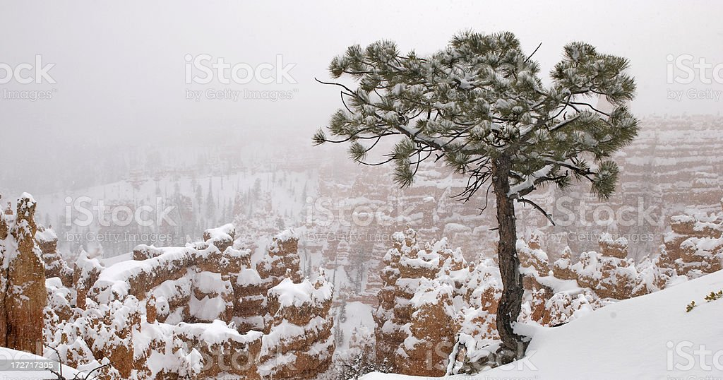 tree over bryce canyon in blizzard stock photo