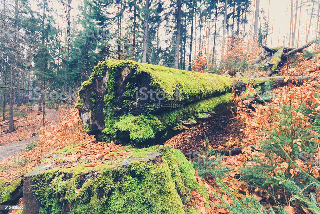 tree overgrown with moss inside forest closeup stock photo