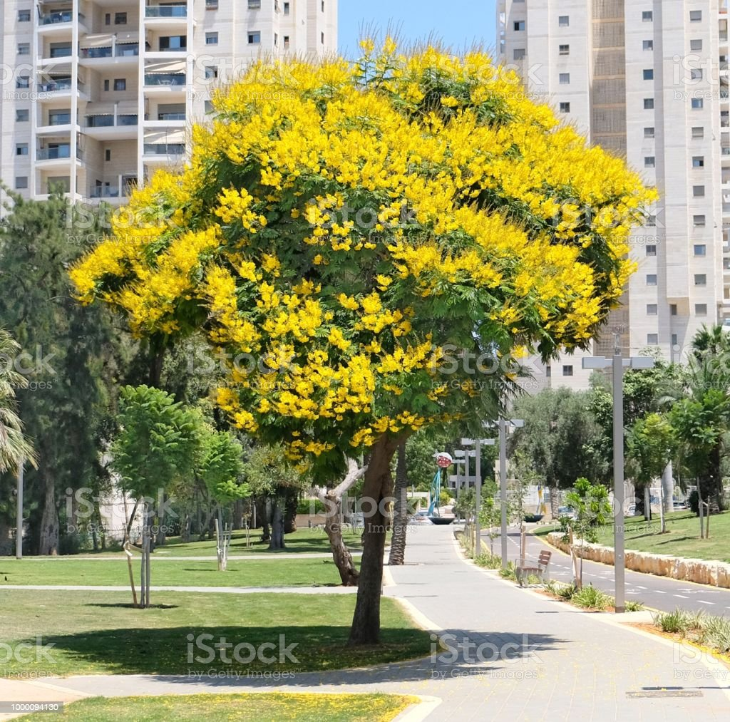 Tree Peltoforum With Bright Yellow Flowers And Small Openwork Leaves