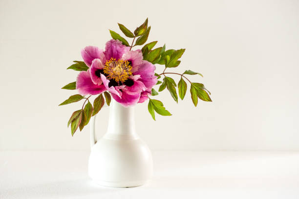 Tree peony in full blown (Lan He /Paeonia suffruticosa rockii) in a white vase on white stock photo