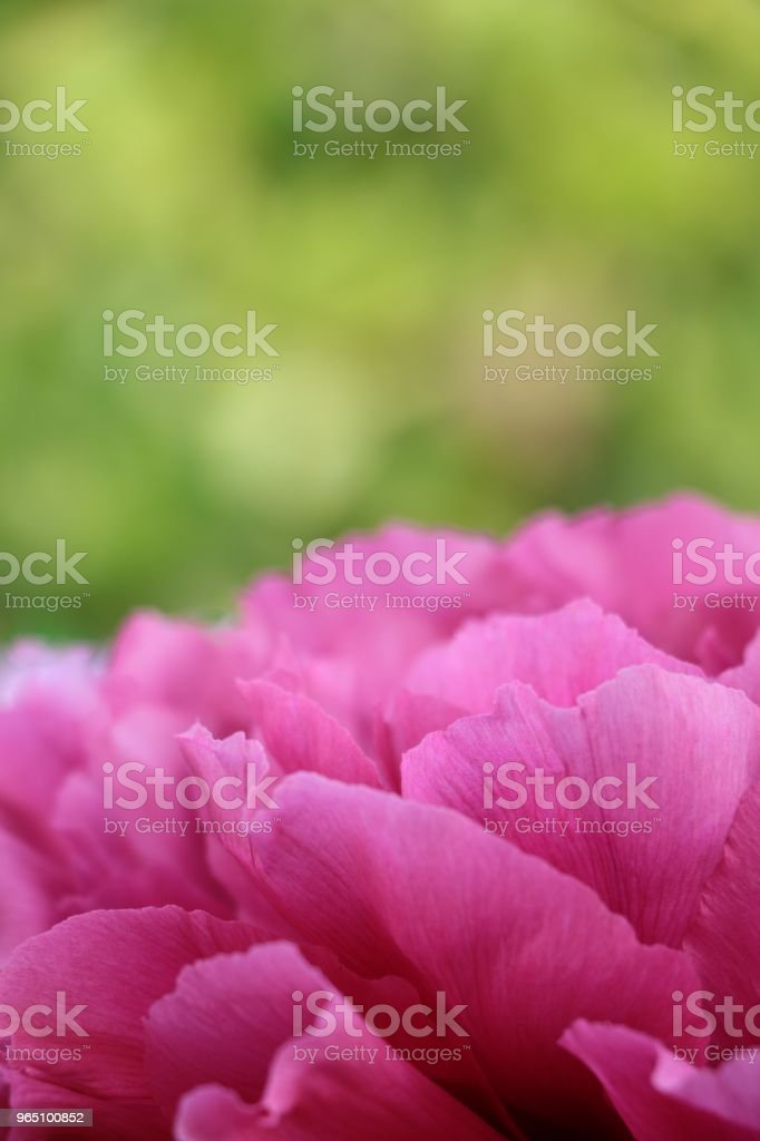 tree peony royalty-free stock photo