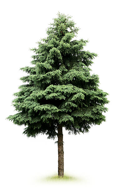 tree tree fir tree stock pictures, royalty-free photos & images