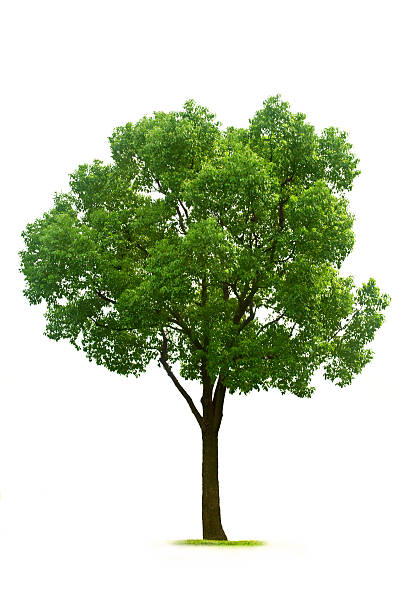 tree - deciduous stock pictures, royalty-free photos & images