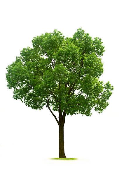 arbre - arbre à feuilles caduques photos et images de collection
