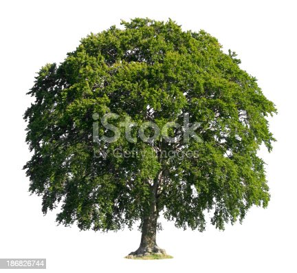 Beech isolated on white.