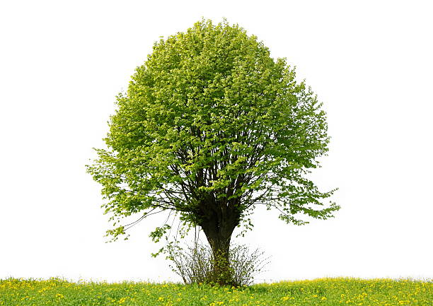árvore - amoreiras imagens e fotografias de stock