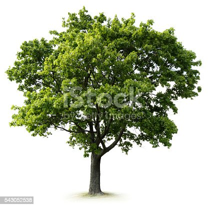 Tree: Maple Tree