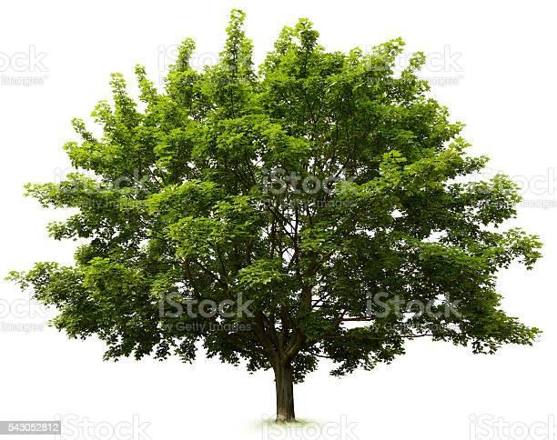 Tree Stockfoto und mehr Bilder von Ahorn