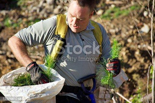 istock Tree Planter Planting Pine Radiata Seedlings 1257661248