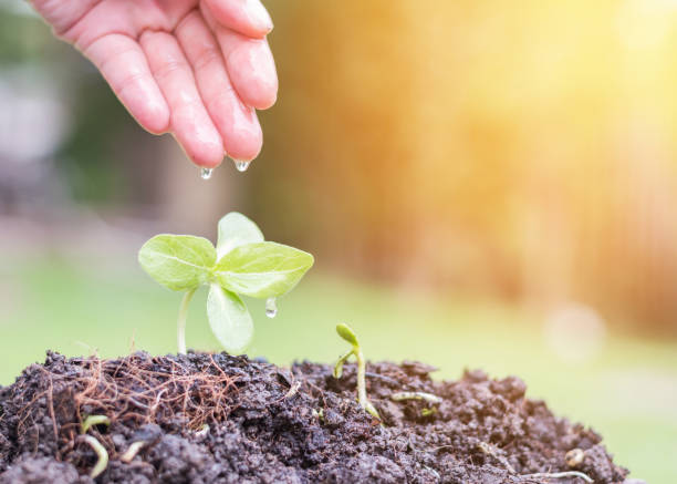 tree planting on soil with hand watering new life of young green bud growing from seed for agricultural business investment, environmental protection, and sustainable environment concept - teacher school solo imagens e fotografias de stock