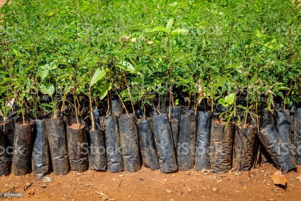 Tree planting Uganda stock photo