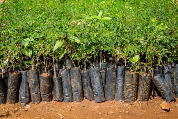 aanplant van oeganda - herbebossing stockfoto's en -beelden