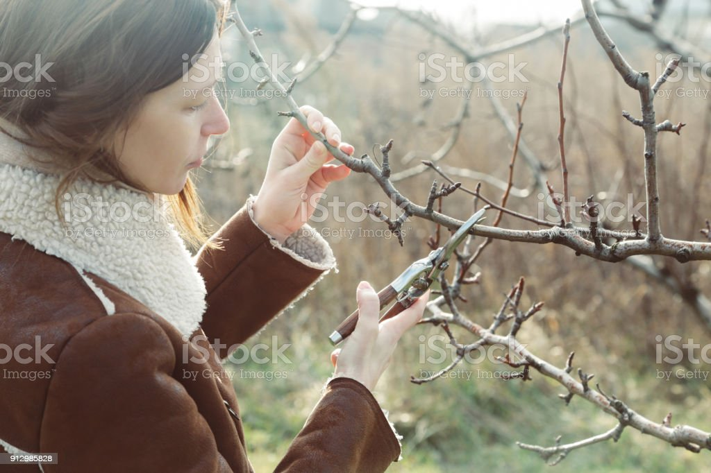 Tree pruning during sunny winter day stock photo