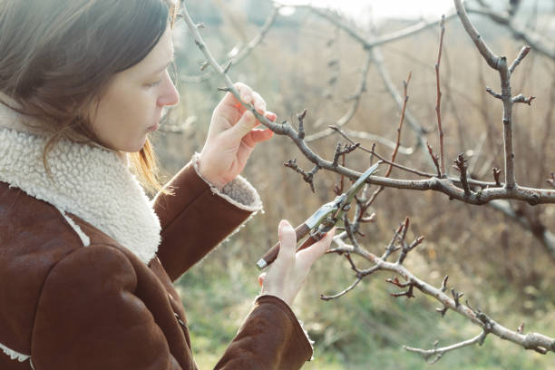 snoeien van bomen tijdens zonnige winterdag - fruitboom stockfoto's en -beelden