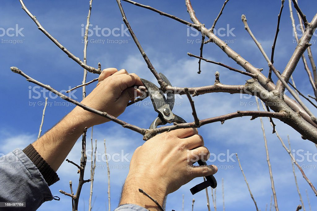 Tree pruning royalty-free stock photo