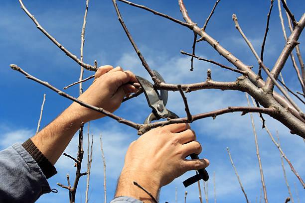 tree pruning - fruitboom stockfoto's en -beelden