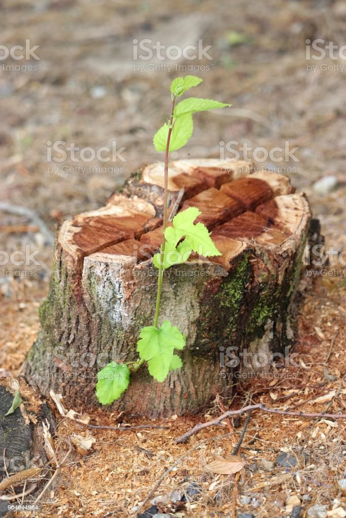 Tree reborn royalty-free stock photo