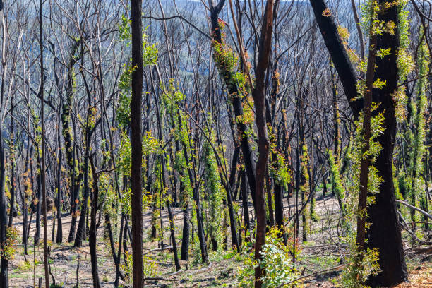 Tree regeneration in The Blue Mountains after severe bush fires stock photo