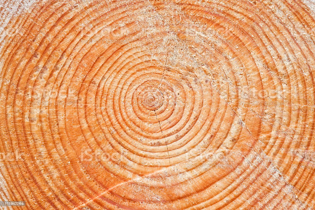 Tree rings in a Larch royalty-free stock photo