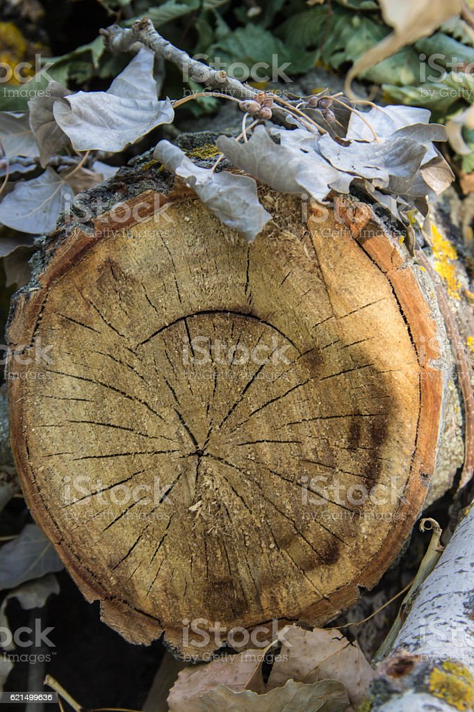Tree rings old weathered wood texture with the cross section foto stock royalty-free
