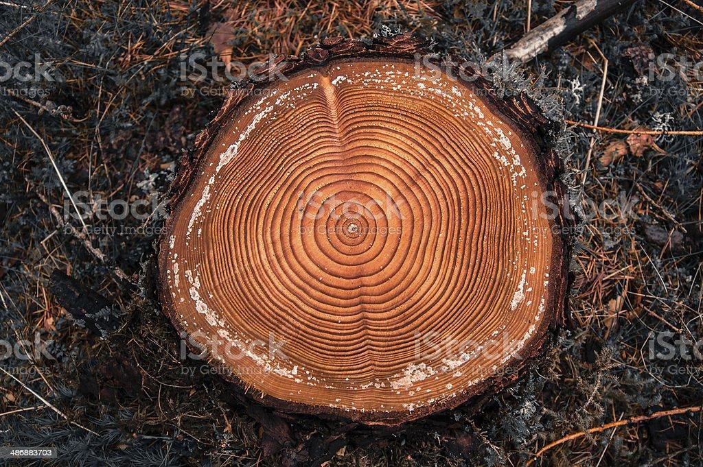 Árbol de anillos de corte en un bosque conifer registro - foto de stock
