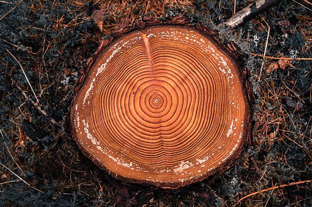 drzewo pierścienie na cięcie się w conifer forest - wood texture zdjęcia i obrazy z banku zdjęć