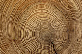 Tree rings are counted to determine the age of a tree.