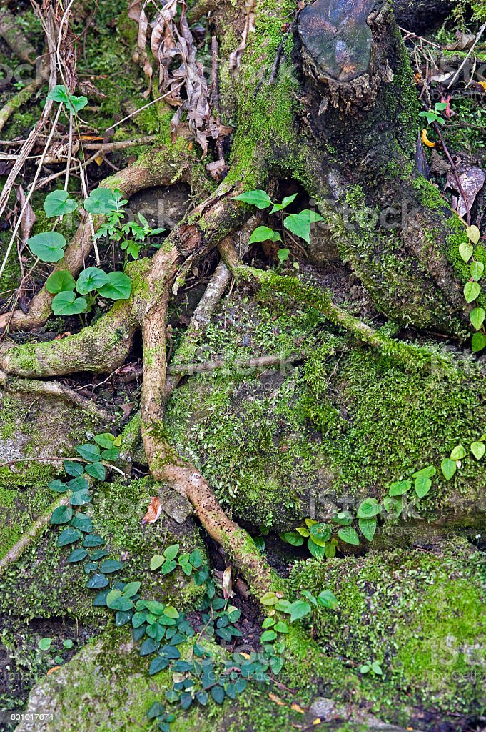 Tree root on stone wall stock photo