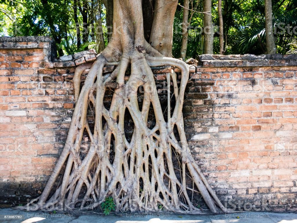 Tree aerial roots covering part of a mud brick wall as a background