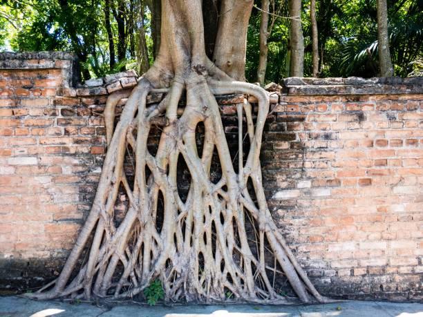 Baumwurzeln auf Ziegelmauer – Foto