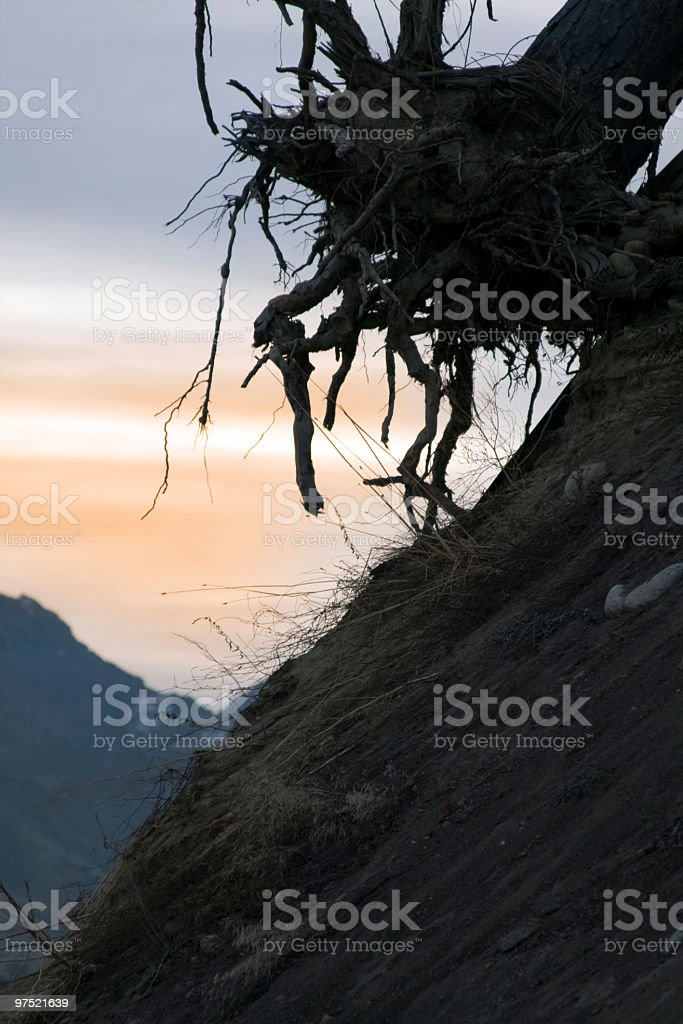 Tree Roots at Sunrise royalty-free stock photo