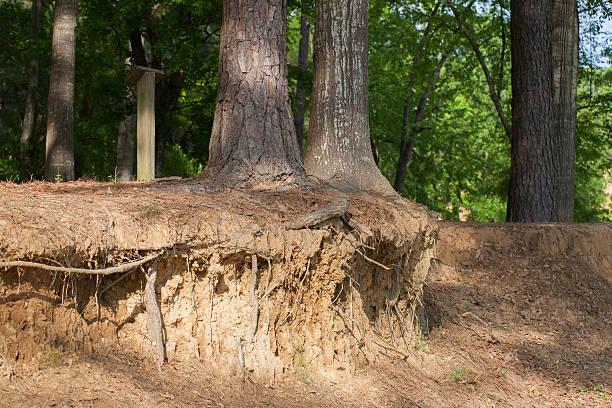 Tree Roots Exposed Ledge stock photo
