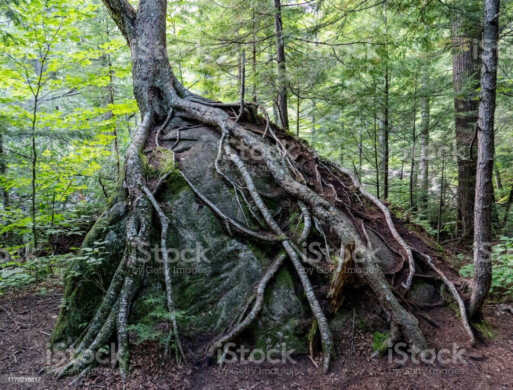 Tree roots growing on boulder - Royalty-free Abstrato Foto de stock