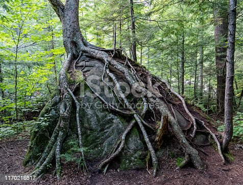 istock Tree roots growing on boulder 1170216517