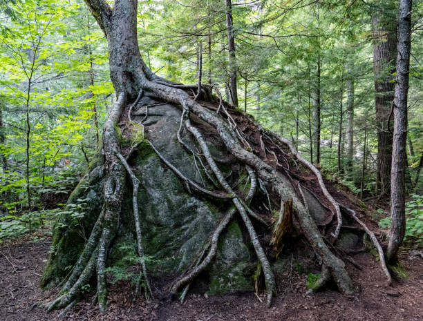 tree roots growing on boulder - resilience concept stock photos and pictures