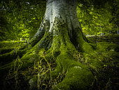 The Tree Roots Of An Ancient Birch Tree In A Beautiful Green Forest