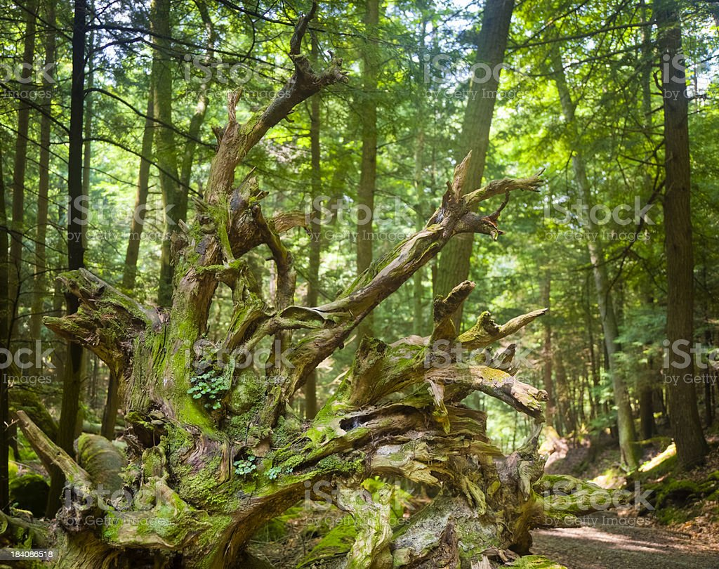 Tree Roots of an Upturned Tree Along a Forest Path stock photo