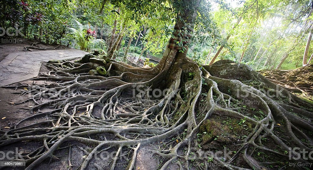 Tree roots on the ground royalty-free stock photo