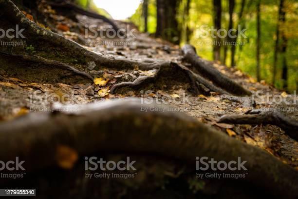 Photo of Tree roots on wet ground with fallen leaves and autumn forest on the background